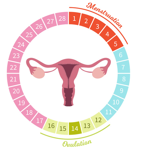 Illustration of female menstrual cycle showing the ovulatory phase