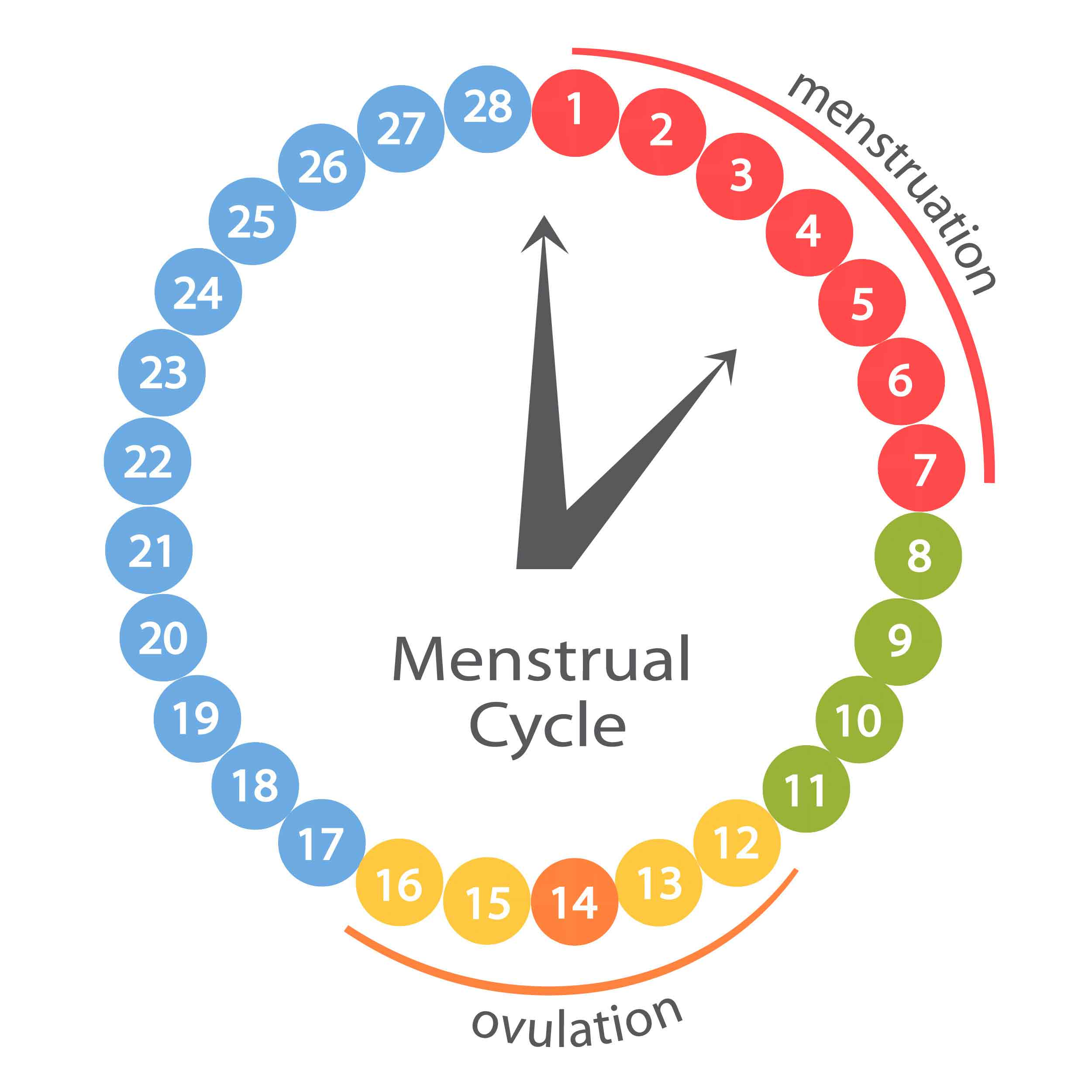 ovulation and menstruation cycle graph